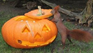 Wildpark-MV Halloween Güstrow Eichhörnchen Kürbis