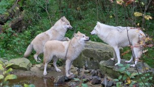 """Zoo Osnabrück begrüßt zwei weitere Wölfe und Bison neu in Tierwelt """"Manitoba"""""""
