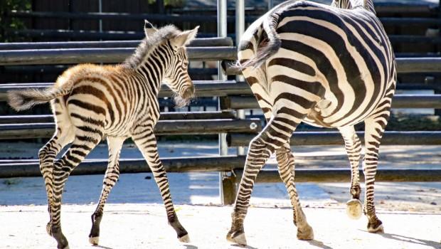Zebra-Baby im Zoo Karlsruhe 2017