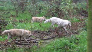 """Wieder Wölfe im Zoo Osnabrück: Hudson Bay Wölfe in Tierwelt """"Manitoba"""" eingezogen"""