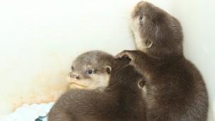 Asiatische Zwergotter im Zoo Osnabrück mit vierfachem Nachwuchs im Herbst 2017