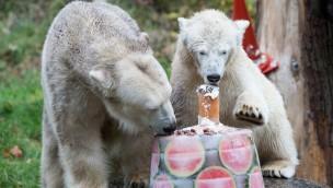 """Tierpark Hellabrunn: Eisbären-Mädchen """"Quintana"""" erhält Eistorte zum ersten Geburtstag"""