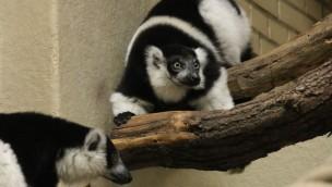 Gürtelvaris Hannover Zoo neu