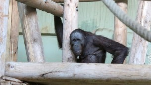 "Zoo Osnabrück begrüßt ""Damai"": Neuer Orang-Utan eingezogen"