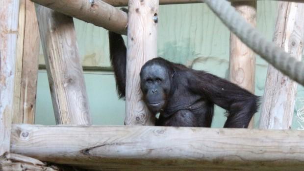 Orang Utan im Zoo Osnabrück - Damai Einzug