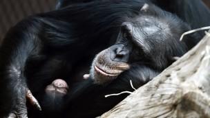 Schimpanse Nachwuchs ZOOM Erlebniswelt Winter 2017