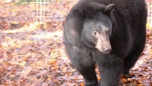 """Schwarzbären neu im Zoo Osnabrück: """"Lea"""" und """"Theo"""" in """"Manitoba"""" eingezogen"""