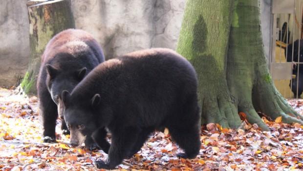 Schwarzbären neu im Zoo osnabrück