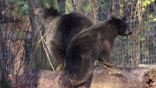 Schwarzbären Zoo Osnabrück 2017 neu