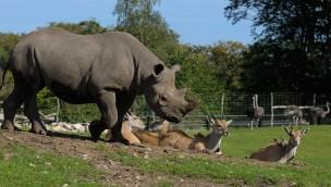 """Spitzmaulnashorn-Bulle im Erlebnis-Zoo Hannover zur Mission """"Arterhaltung"""" angekommen"""