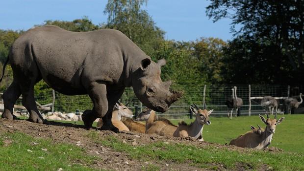 Spitzmaulnashorn Zoo Hannover - Kito