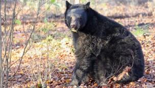 Neue Schwarzbären im Zoo Osnabrück erobern große Außenanlage