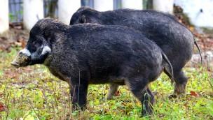 Münchner Tierpark Hellabrunn begrüßt Visayas-Pustelschweine im Nashornhaus