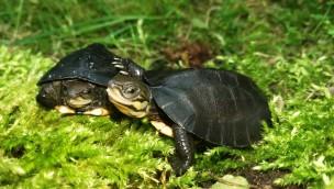 Allwetterzoo Münster gelingt Nachzucht der Zhous Scharnierschildkröte