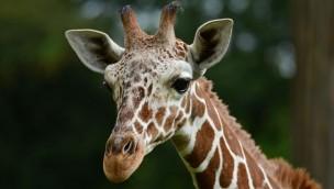 Giraffe Rocky im Allwetterzoo Münster