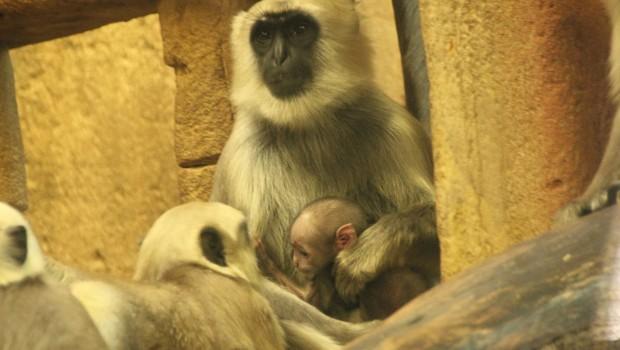 Hulman-Languren im Erlebnis-Zoo Hannover mit Nachwuchs