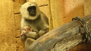 Hulman-Languren im Dschungel-Palast des Erlebnis-Zoo Hannover mit Nachwuchs kurz vor Jahreswechsel 2017/18