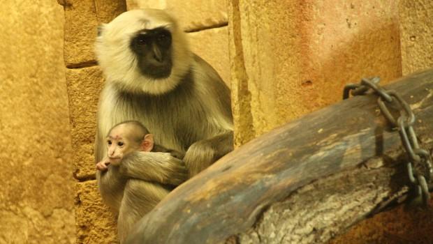 Hulman-Languren im Zoo Hannover mit Baby 2017