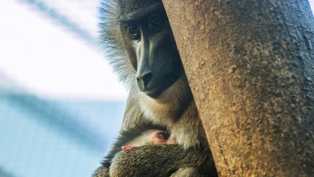 Mandrill Baby Arme Mutter Tierpark Hellabrunn