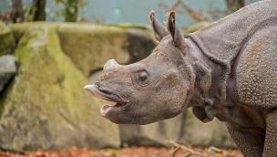 Nashorn Puri aus Hellabrunn im Zoo Amersfort - Umzug
