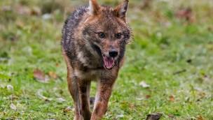 Tierpark Hellabrunn bekommt Zuwachs: Vier junge Goldschakale eingezogen