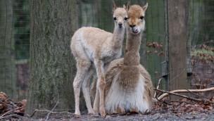 Vikunja-Junges im Zoo Osnabrück: Erstmals Nachwuchs bei den Vikunjas