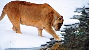 Zoo Augsburg: Loewe im Schnee