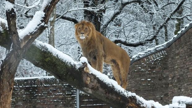 Zoo Duisburg Winter-Zoo Löwe