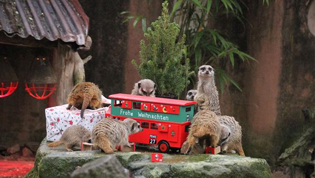 Zoo Hannover: Weihnachtsgeschenke für die Erdmännchen