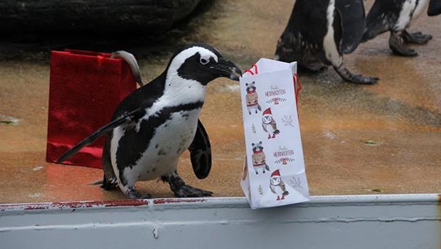 Zoo Hannover: Pinguin mit Weihnachtstüte