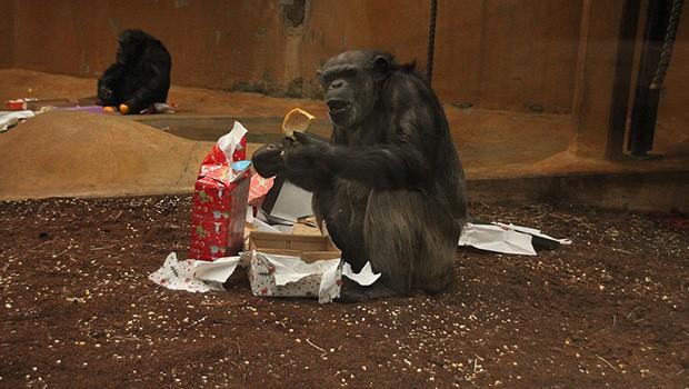 Zoo Hannover: Schimpanse öffnet Weihnachtsgeschenk