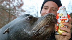 Seelöwe Stevie mit einem Schoko-Nikolaus