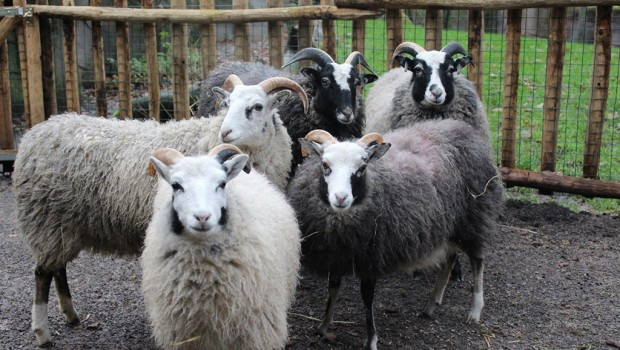 Zoo Osnabrück: Fünf neue Guteschafe
