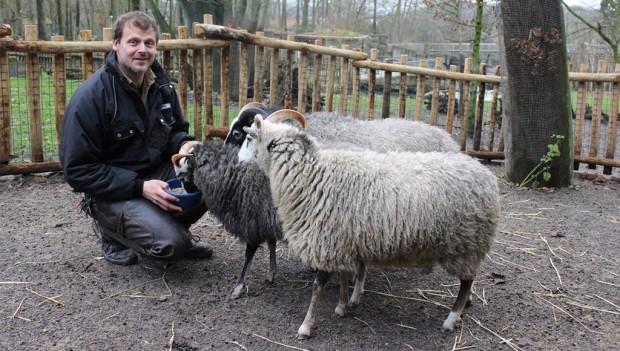 Zoo Osnabrück: Guteschafe mit Tierpfleger