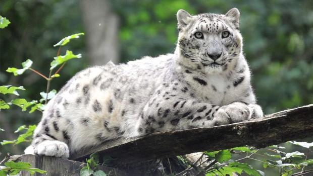 Zoo Rostock: Schneeleopard Emba