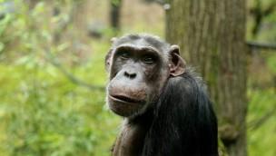 Zoo Wuppertal: Schimpanse