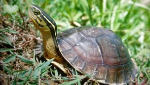 Amboina Scharnierschildkröte