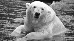 Eisbär Vienna gestorben - Zoo Rostock/Frankreich