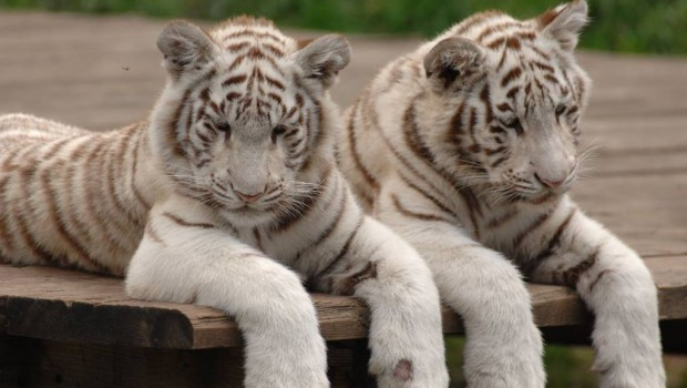 Weiße Tiger im Tier- und Freizeitpark Thüle