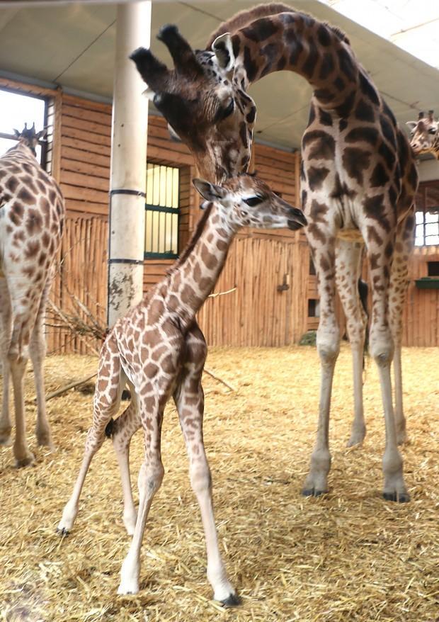 Giraffen-Nachwuchs ZOOM Erlebniswelt 2018 Januar