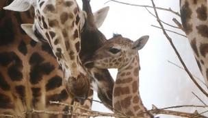 "Giraffen-Baby in der ZOOM Erlebniswelt: 16. Jungtier in ""Afrika"" geboren"