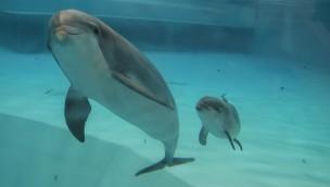 Delfin-Baby in Kolmården geboren: Dritte Generation im Zoo geborener Delfine