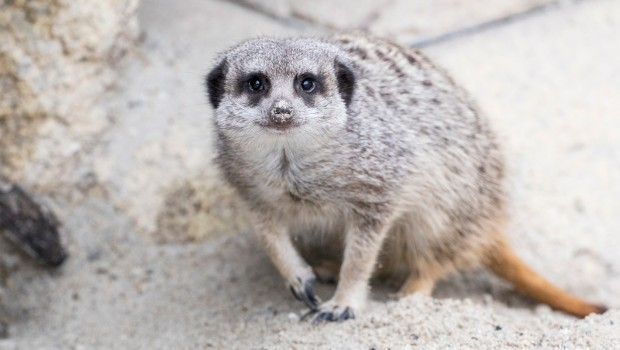 Tierpark Hellabrunn: Erdmännchen