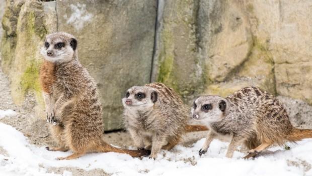 Tierpark Hellabrunn: Erdmännchengruppe