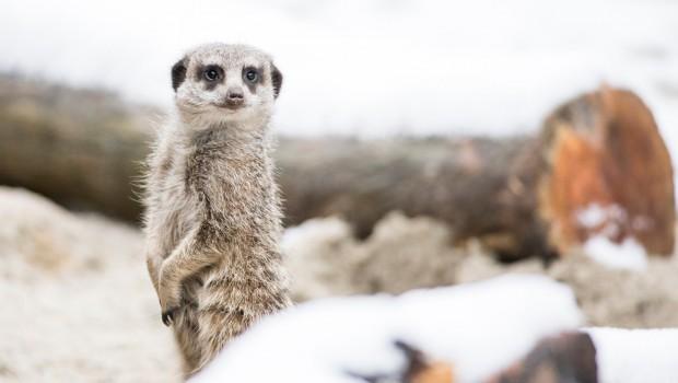 Tierpark Hellabrunn bekommt neue Erdmännchen