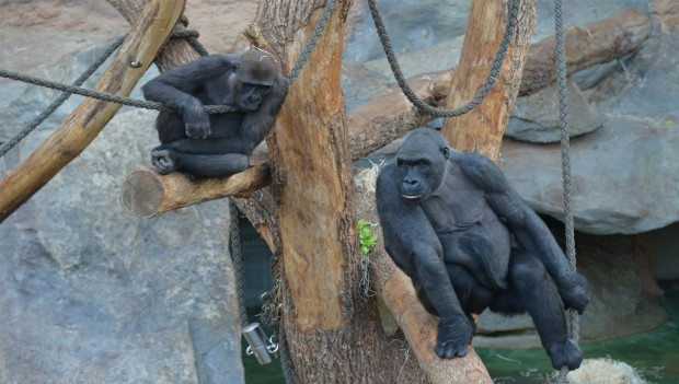 """Tierpark Hellabrunn: Gorillas """"Nafi"""" und """"Sonja"""""""