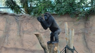 """Gorilla-Dame """"Bagira"""" zieht 2018 vom Tierpark Hellabrunn in den Zoo Saarbrücken"""