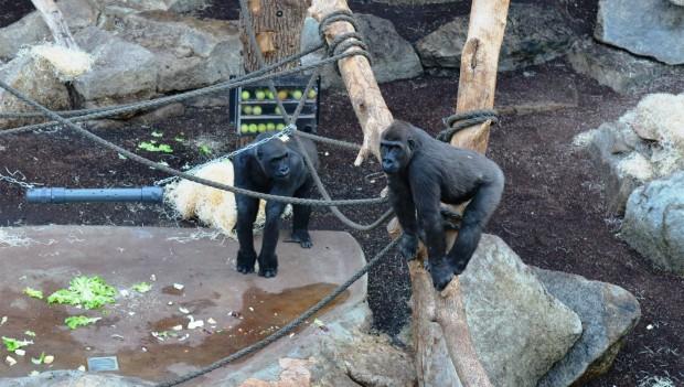 "Tierpark Hellabrunn: Gorillas ""Tano"" und ""Sonja"""