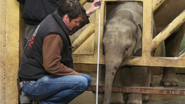 Zoo Osnabrück bei der tierischen Inventur 20118: Die Seehunde: Elefant Minh Tan