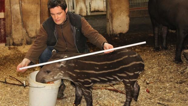 Zoo Osnabrück bei der tierischen Inventur 20118: Das Tapir Mateo